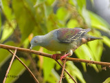 Little Green-Pigeon - looking down