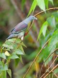 Little Green-Pigeon - far away