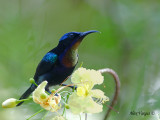 Copper-throated Sunbird - male