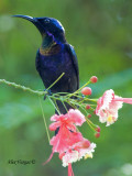 Copper-throated Sunbird - male  - dark angle