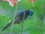 Copper-throated Sunbird - male  - blue crown