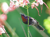 Copper-throated Sunbird - male  - throat on fire