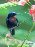 Copper-throated Sunbird - male  2