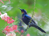 Copper-throated Sunbird - male  - looking up