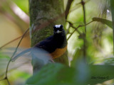 White-crowned Shama - may I help you?