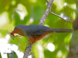 Red-billed Malkoha - sp 21