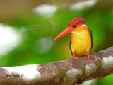 Black-backed Dwarf Kingfisher - 4