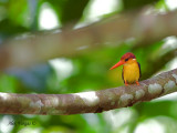 Black-backed Dwarf Kingfisher - 2