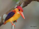 Black-backed Dwarf Kingfisher - 5