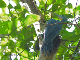 Greater Slaty Woodpecker - female