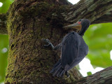 Greater Slaty Woodpecker - male