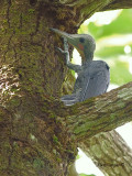 Greater Slaty Woodpecker - male - scratching