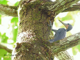 Greater Slaty Woodpecker - male 2
