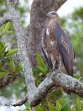 Grey-headed Fish-Eagle - juvenile - 6