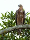 Grey-headed Fish-Eagle - juvenile - 5