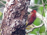 Banded Woodpecker - sp 30
