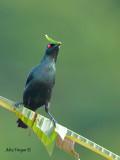 Asian Glossy Starling - nesting materials
