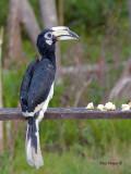 Oriental Pied Hornbill - on the banana