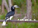 Oriental Pied Hornbill - on the feeder