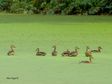 Wandering Whistling-Duck - sp 33