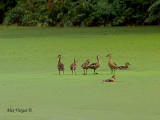 Wandering Whistling-Duck - in green
