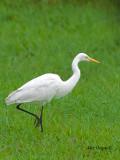 Great Egret - walking tall