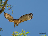 Wallace's Hawk-Eagle - tail's view