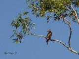 Wallace's Hawk-Eagle - far away