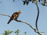 Wallace's Hawk-Eagle