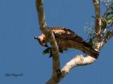 Wallace's Hawk-Eagle - eating something