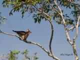 Wallace's Hawk-Eagle - funny pose