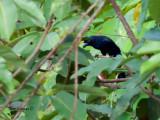 Black Magpie