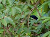 Black Magpie - far way