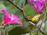 Olive-backed Sunbird - male - eclipse