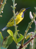 Olive-backed Sunbird - male eclipse - alert