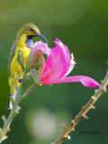 Olive-backed Sunbird - male eclipse - feeding