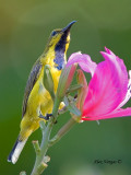 Olive-backed Sunbird - male eclipse - looking up