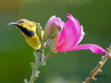 Olive-backed Sunbird - male eclipse - looking back