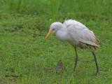 Little Egret - muddy