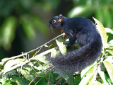 Bornean Banded Squirrel