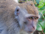 Crab-eating Macaque - portrait