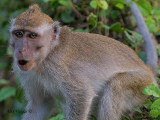 Crab-eating Macaque - talking