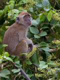 Crab-eating Macaque - dark faced