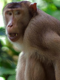 Pig-tailed Macaque - portrait