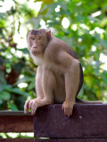 Pig-tailed Macaque - look at me