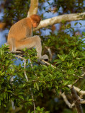 Proboscis Monkey - female 2