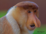 Proboscis Monkey - male - face