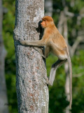 Proboscis Monkey - male - juvenile