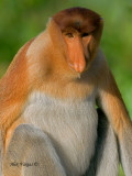 Proboscis Monkey - male - portrait