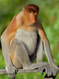 Proboscis Monkey - male - profile